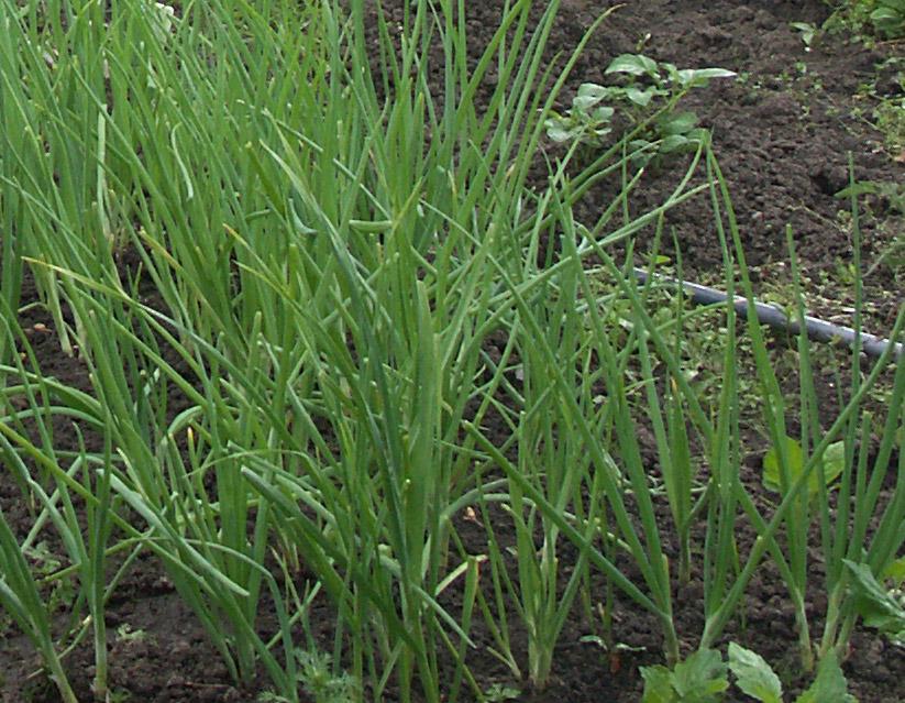 Выращивание настурции и уход за ней для пышного цветения 60